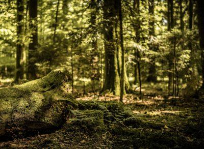 Blick in einen Mischwald, in dem alte und junge Bäume nebeneinander stehen; im Vordergrund liegt ein umgefallener Baum