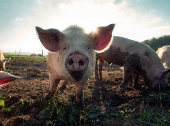 Schwein_Tierhaltung